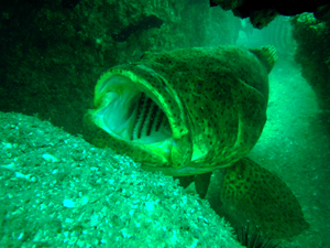 goliath grouper on an artificial reef
