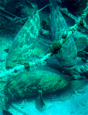 goliath grouper congregating on artificial reefs