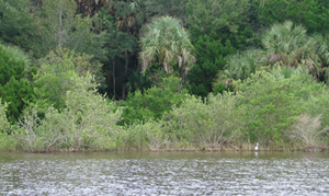 natural living shoreline along Intracoastal Waterway