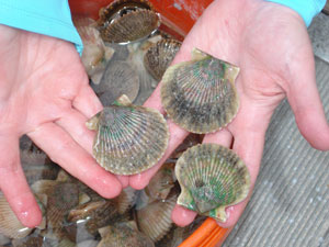 Scallops shown in hands