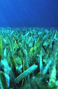 Sea Grant researchers are collecting valuable baseline data on sea grass and other critical marine habitats.