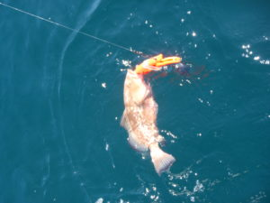 Red Grouper with orange descending device attached. On the water's surface.