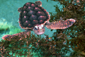 Juvenile sea turtle in green water next to sea weed.