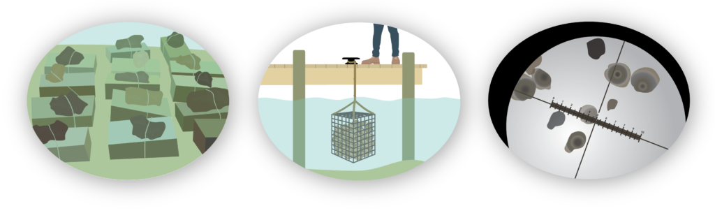 restoration aquaculture graphic