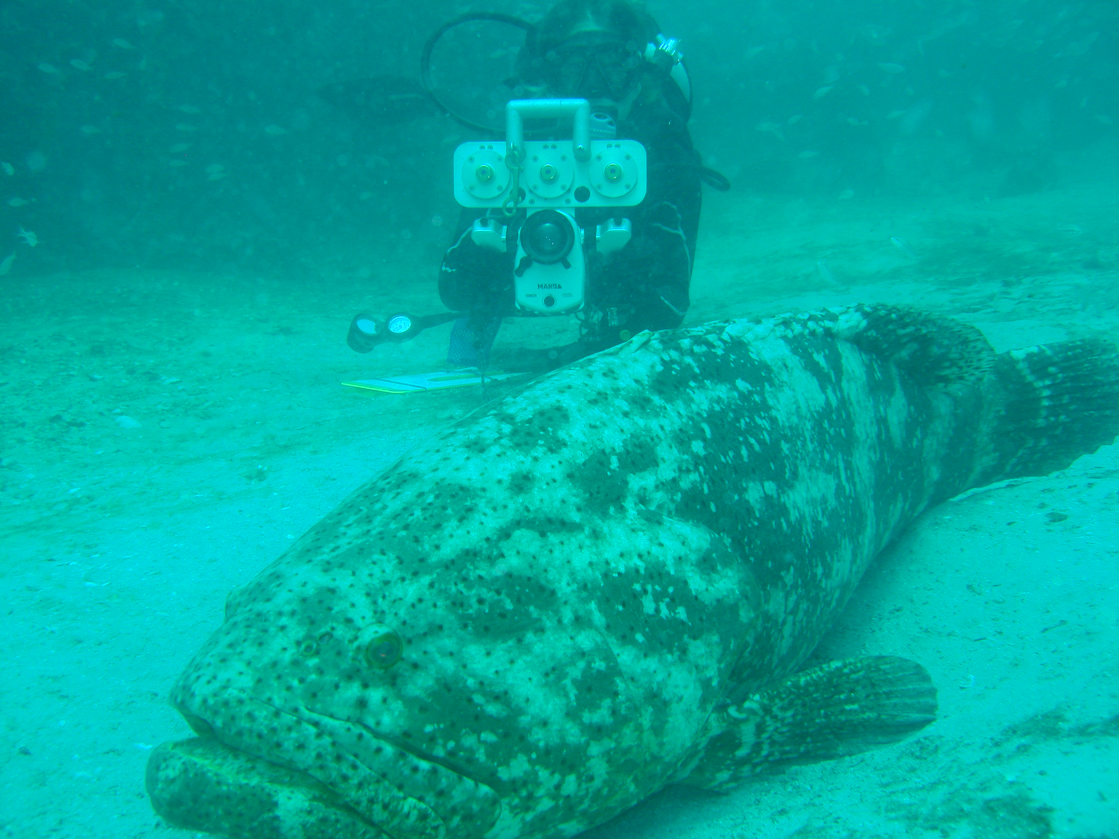 Great goliath grouper count starts june 3 for Goliath grouper fish