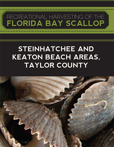 recreational harvest of the florida bay scallop taylor county