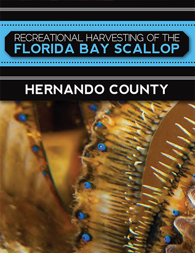 recreational harvest of the florida bay scallop hernando county
