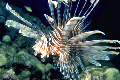 Lionsfish are invading Caribbean reefs.