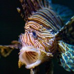 exotic lionfish invades southern Atlantic and Caribbean