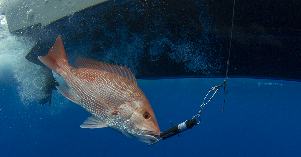 Red snapper underwater with seaqualizer