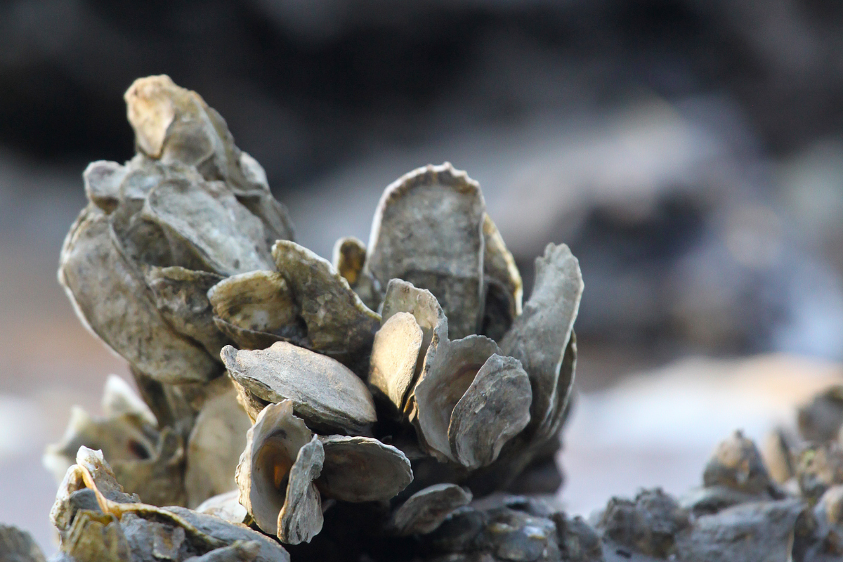 oyster restoration project