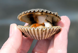 A scallop being held open